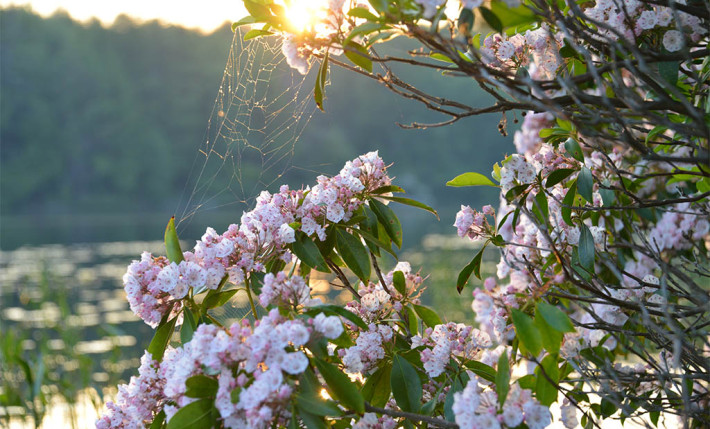Mountain_Laurel_web