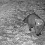 Fisher on Trail Camera